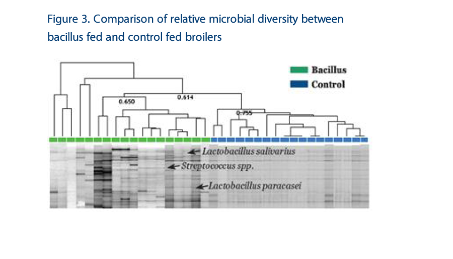 Veterinary Feed Directive Antibiotic and industri options, Figure 3 Comparison of relative microbial diversity between bacillus fed and control fed broilers