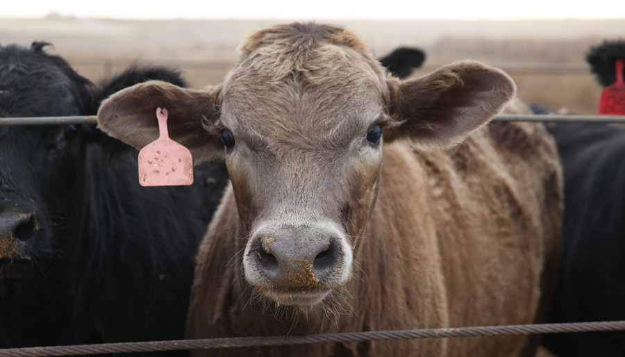 Brown beef cattle
