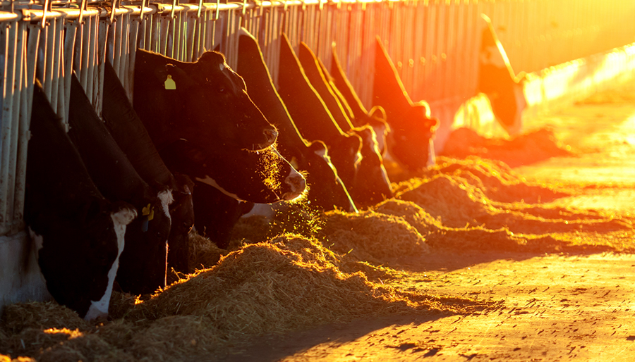 Cows feeding on silage in the evening sun