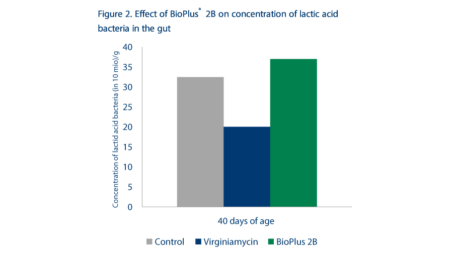 Veterinary Feed Directive Antibiotic and industri options, Figure 2 Effect of BIOPLUS 2B on concentration of lactic acid bacteria in the gut